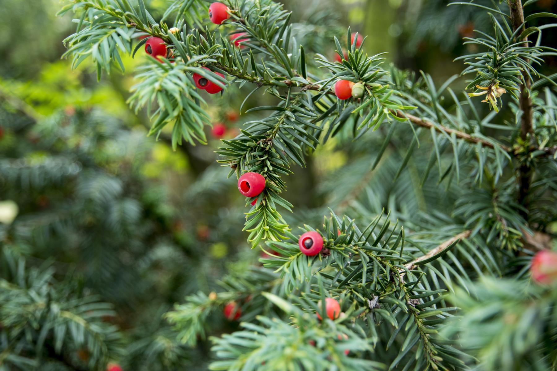 Mørkegrønne nåler og røde bær med synlige frø i.