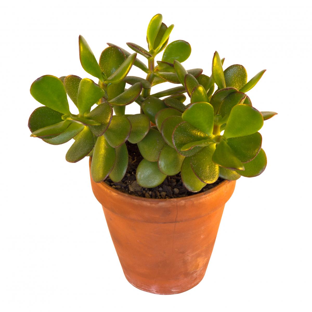 Mørkegrønn sukkulent med tjukke blader.