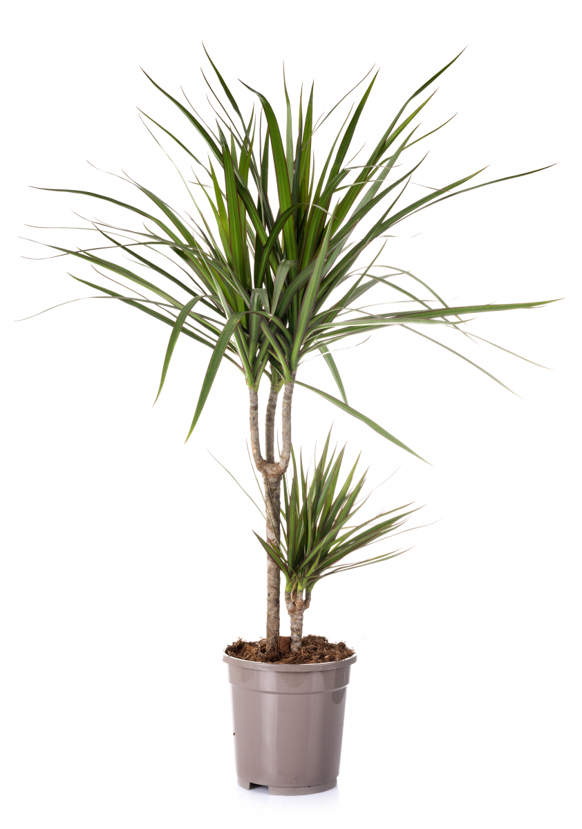 Planten har lange, tynne grønne blader