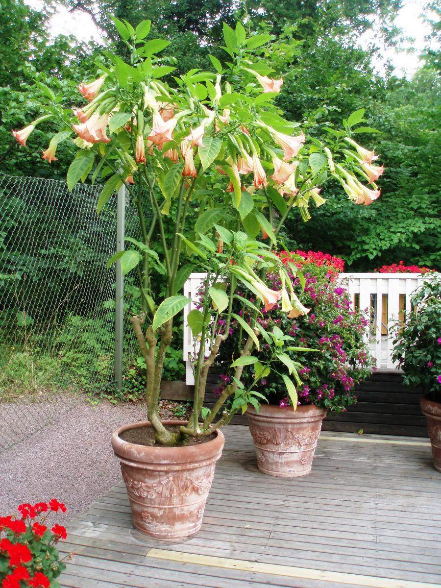 Blomstene er trompet- eller rørformet, nedover-hengende, med grønne blader