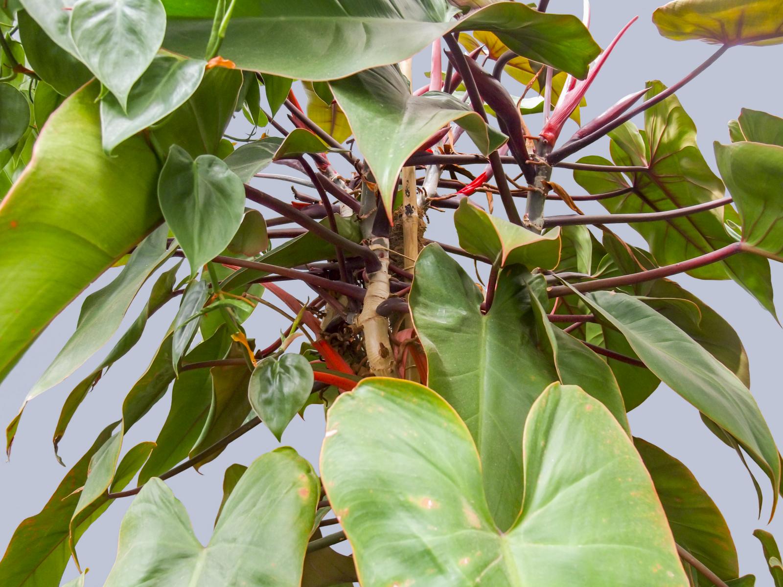 Plante med mørkegrønne blader i hjerteform