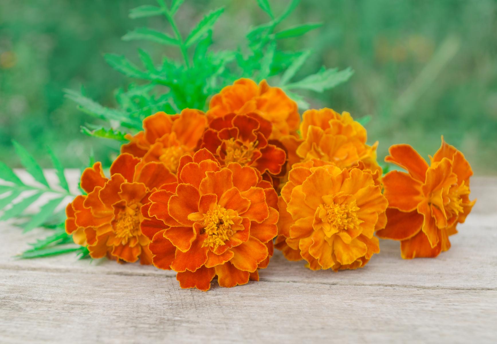Oransje blomster med mage kronblader