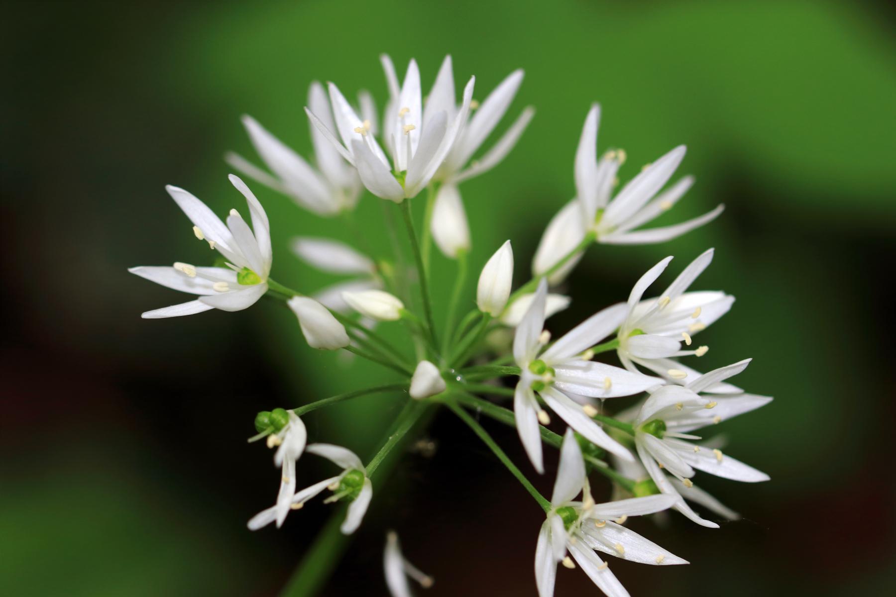 Ramsløk har stjerneformede, hvite blomster i en flat eller halvkuleformet skjerm.