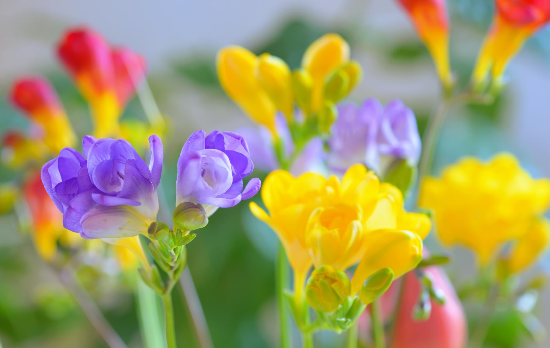 Blomster med lange, smale blader i diverse farger, lilla, gul og rølig