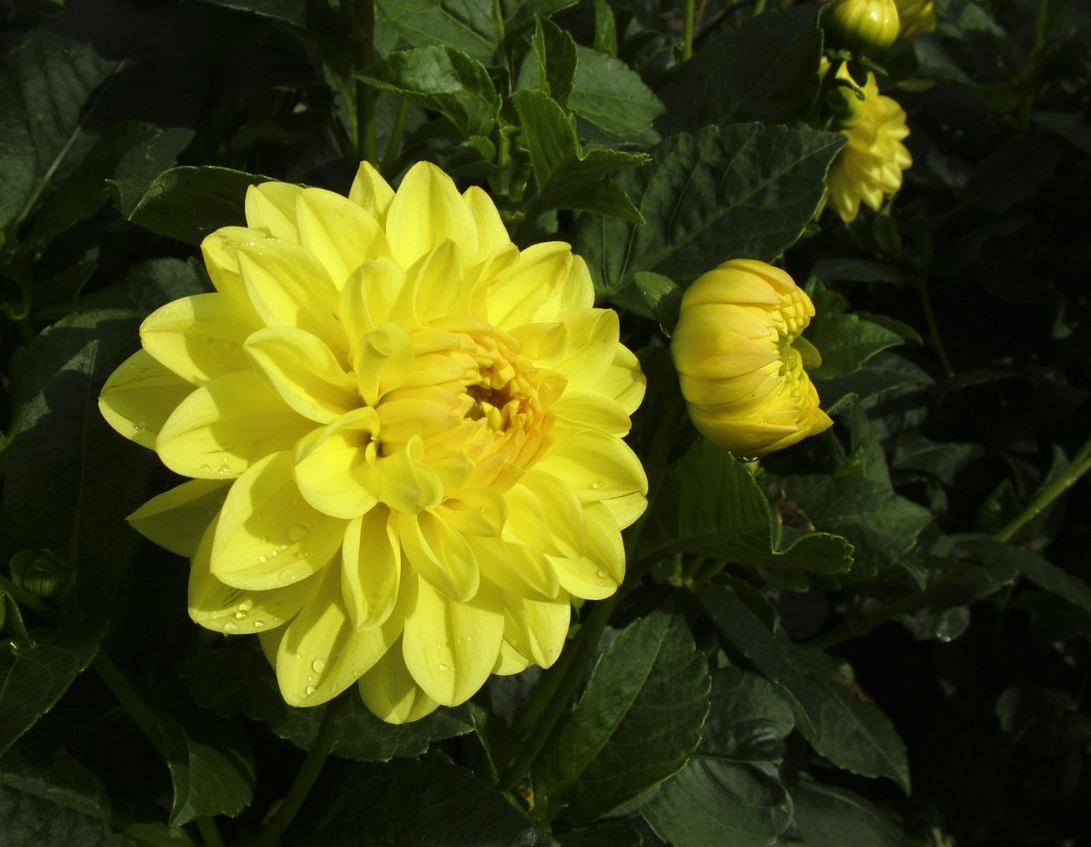 Gul georgine med mange kronblad