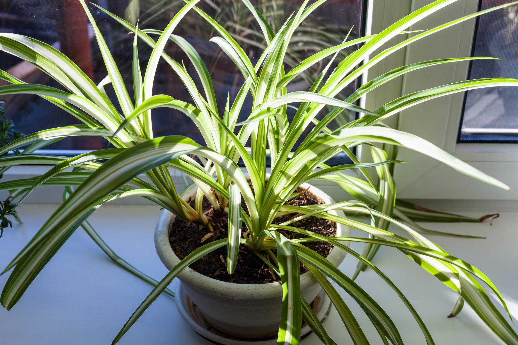 Plante lange, grønne, båndformede blader med hvit stripe nedover bladet