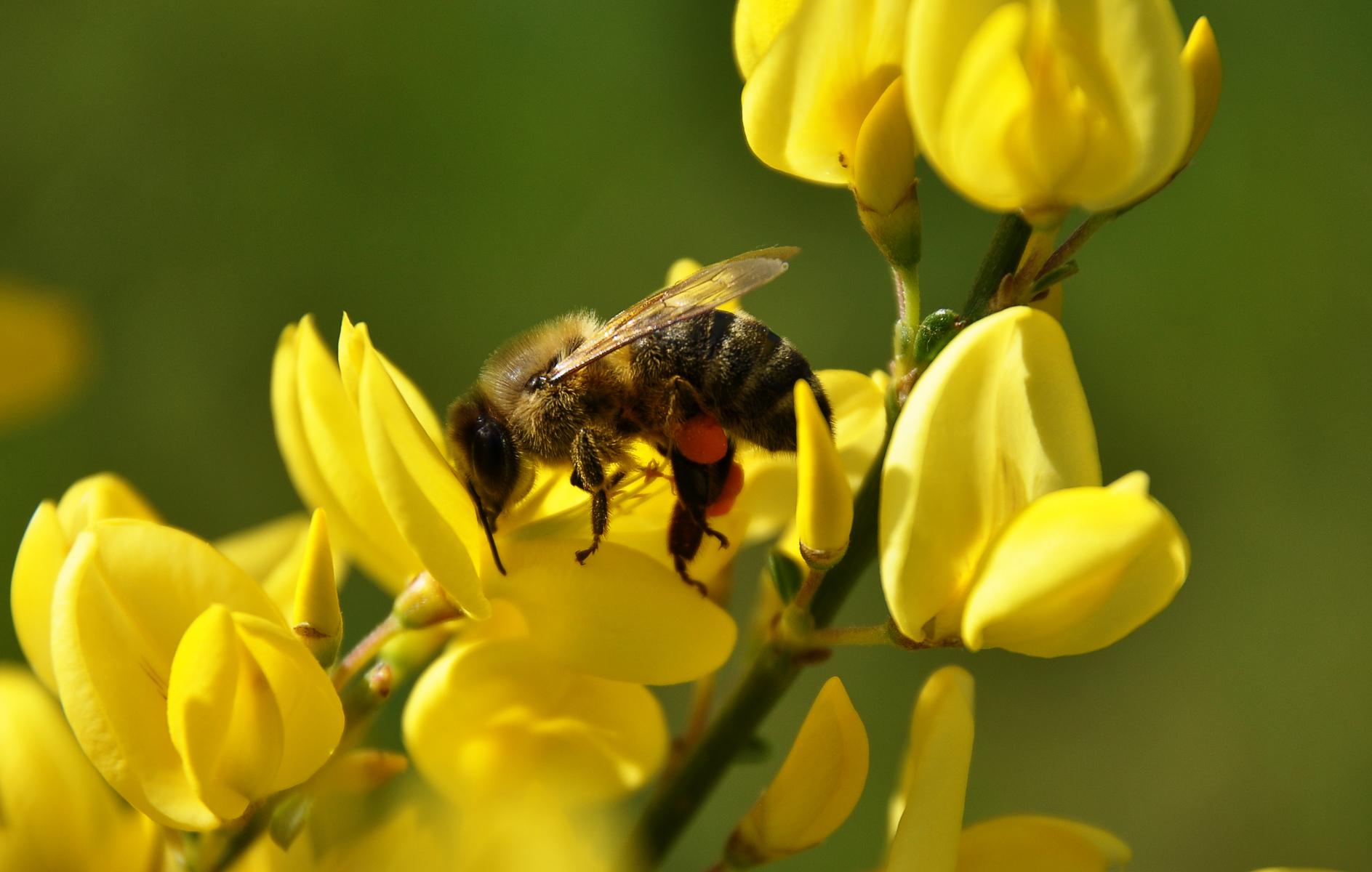 Gyvel-arten har gule blomster.