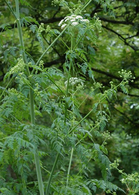 Giftkjeks har små hvite blomster på grønn stengel