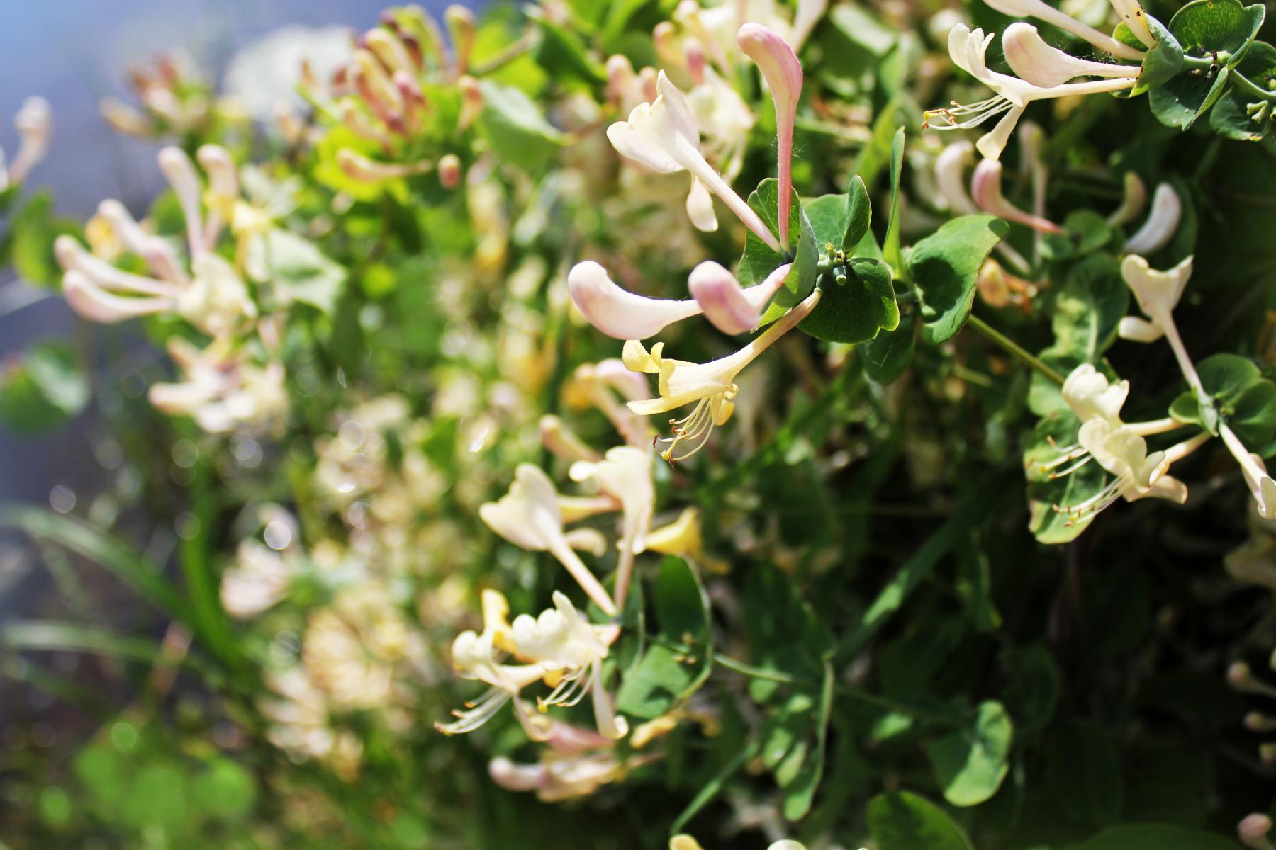Hvitgule og hvitrosa blomster med lange kronblader