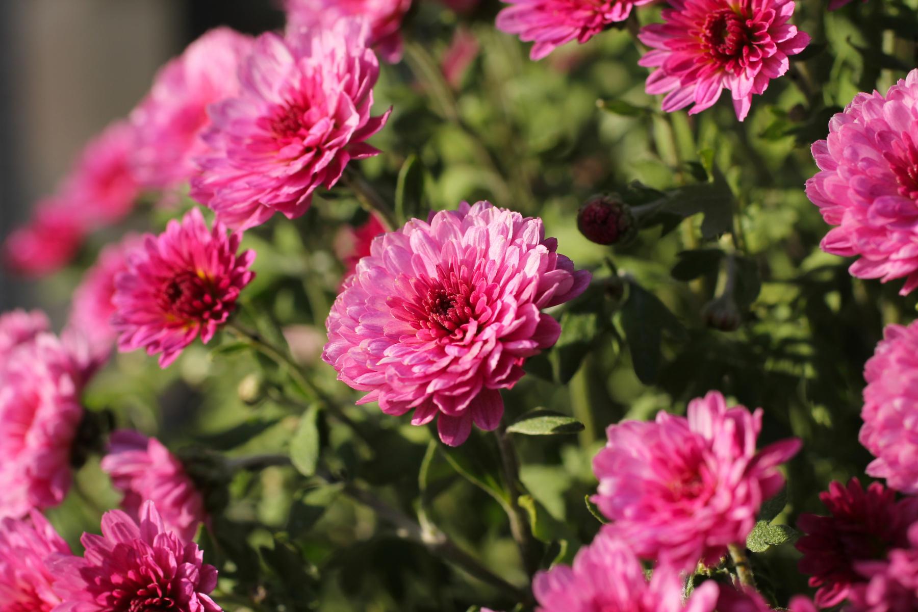 Mørk rosa krysantemum med ovale kronblader