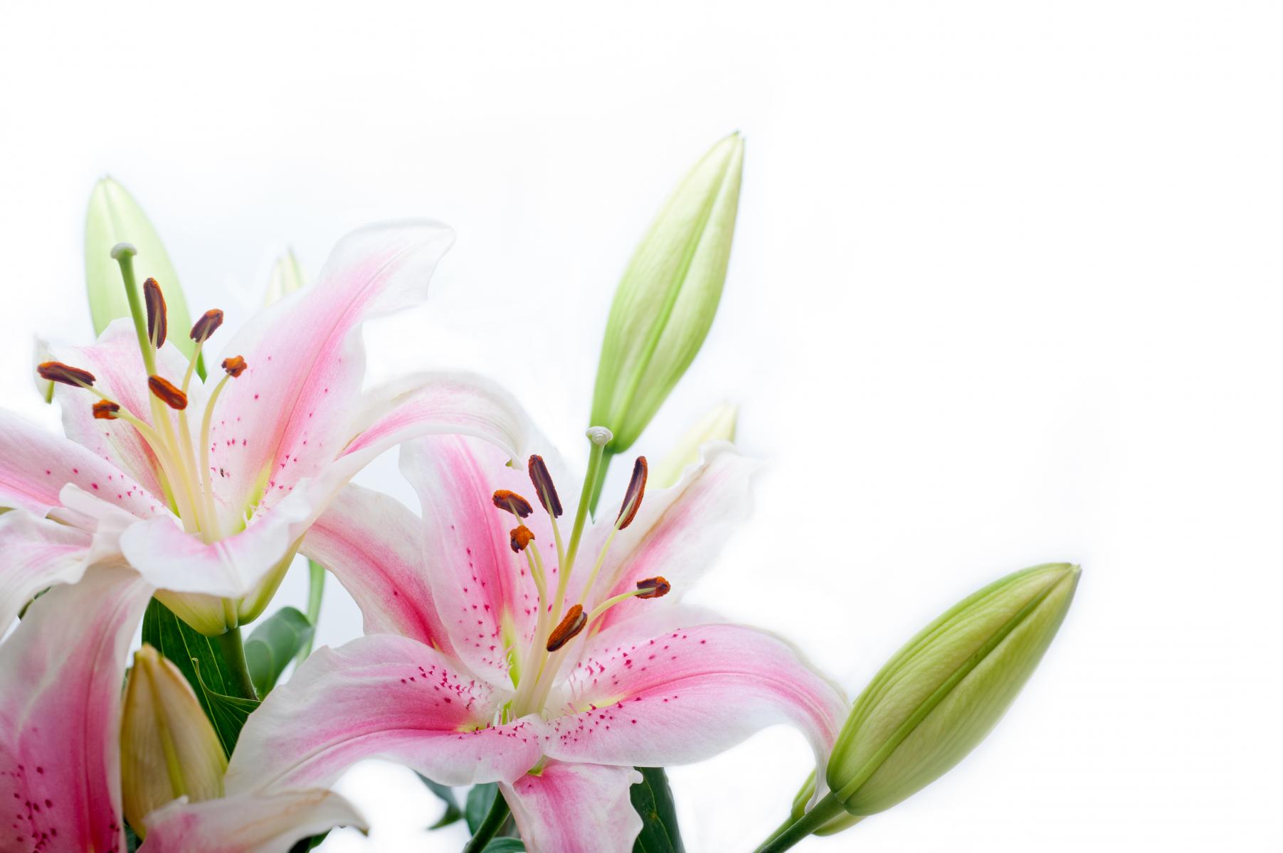 Rosa og hvite liljer med pollenbærere