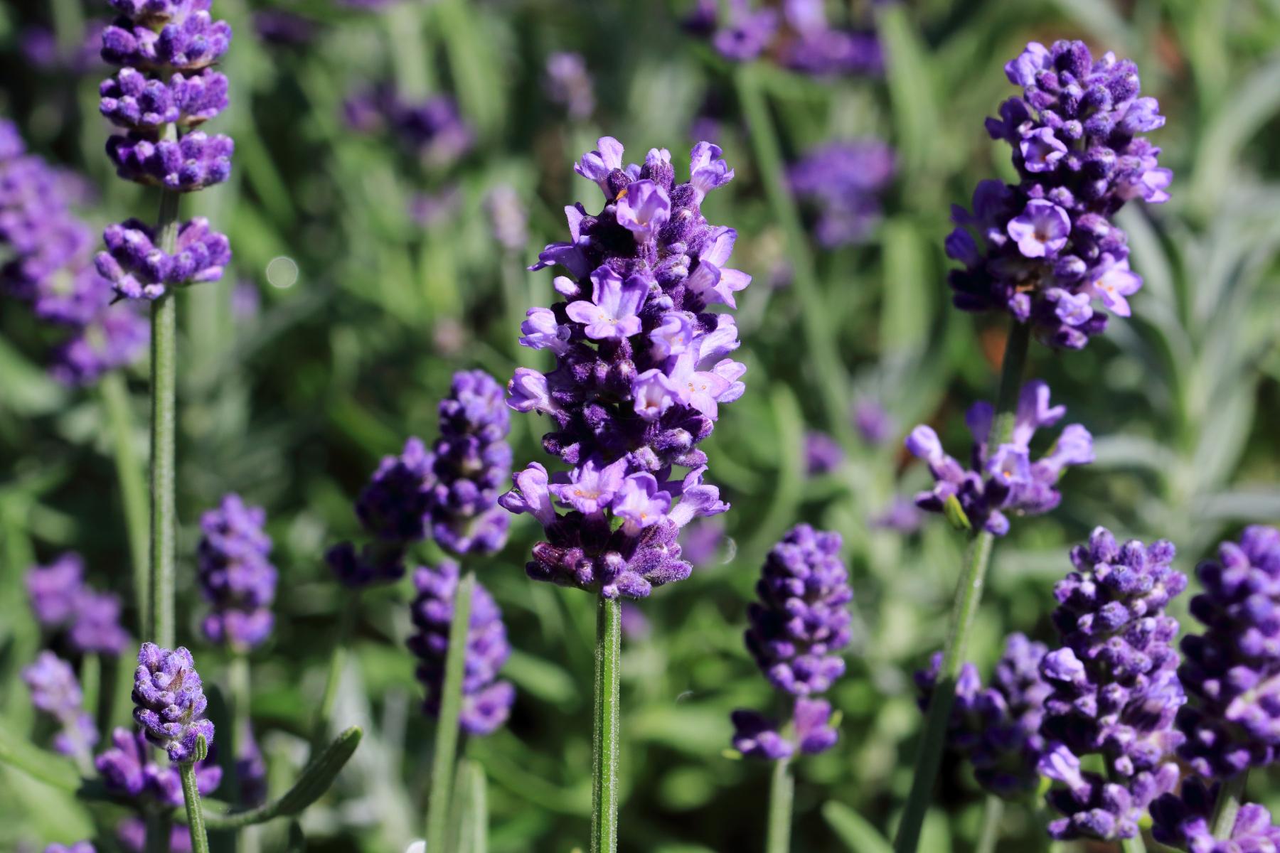Plante med mange små blålilla blomster på stilk