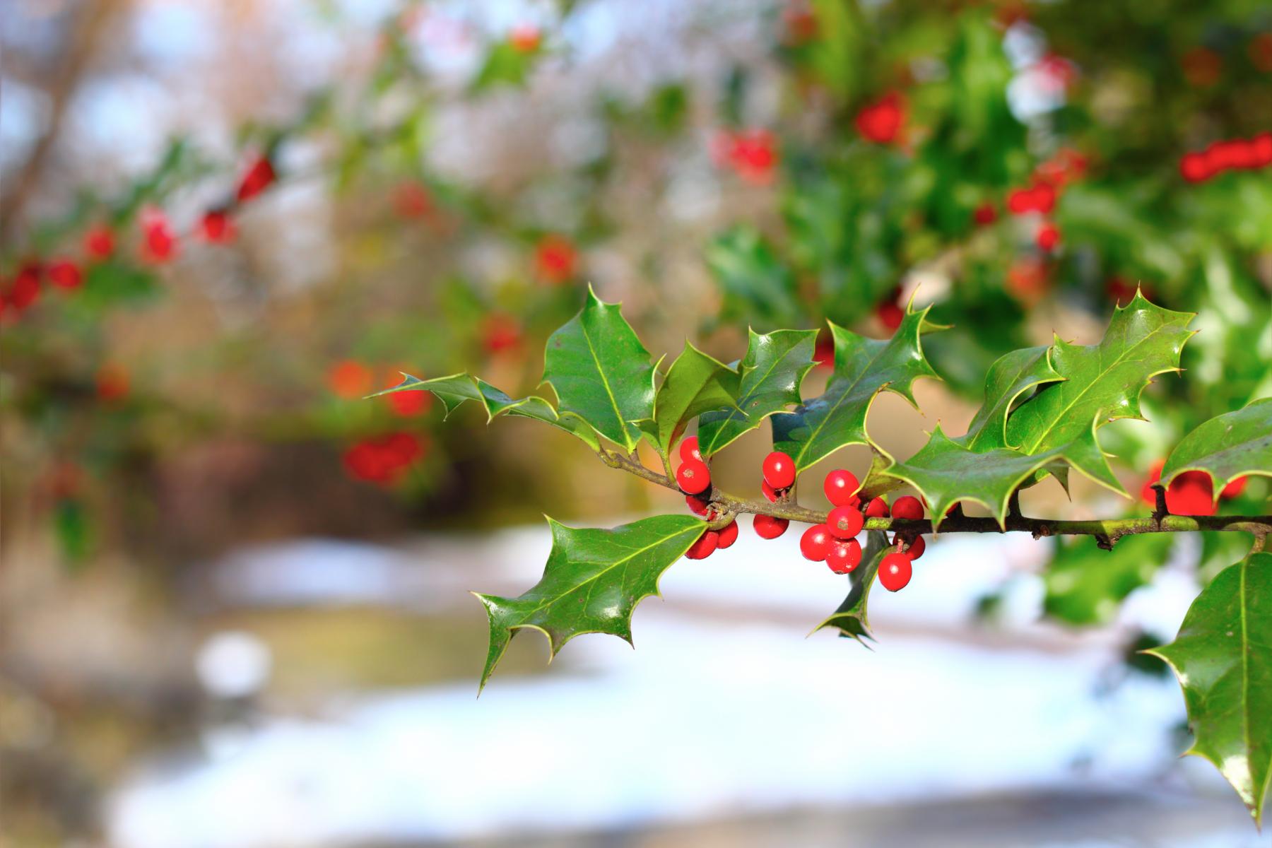 Stive, eviggrønne blad med pigger i ytterkanten. Røde bær.