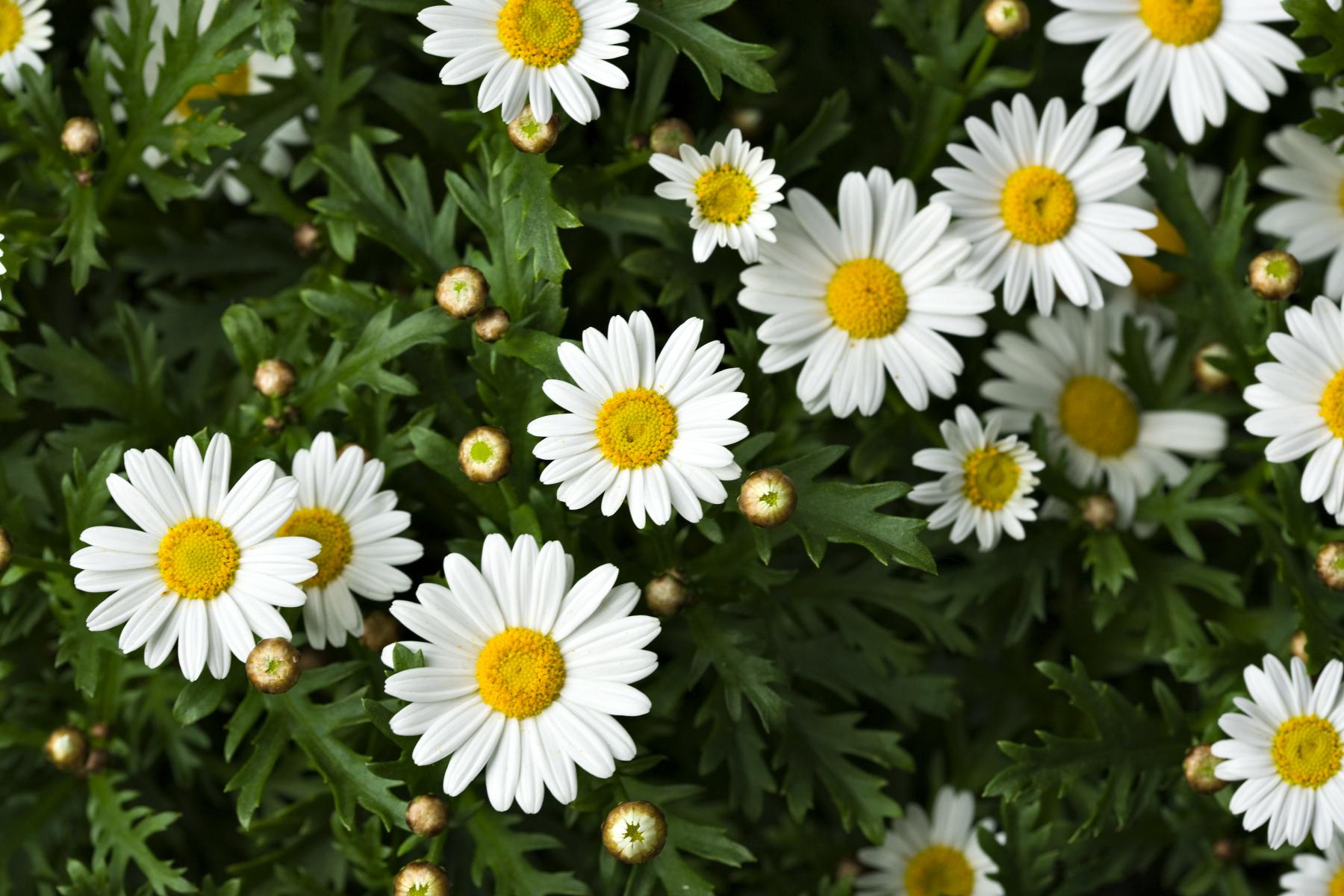 Tynne, hvite kronblad.