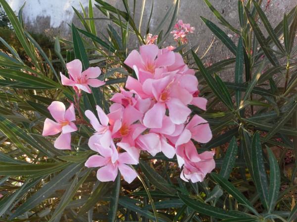 Smale, grågrønne blader med rosa blomst.