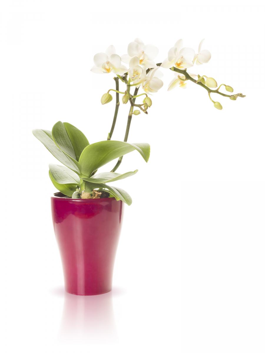 Hvite blomster med gult senter som vokser på to stengler. Planten har store, grønne, ovale blader nederst i krukken