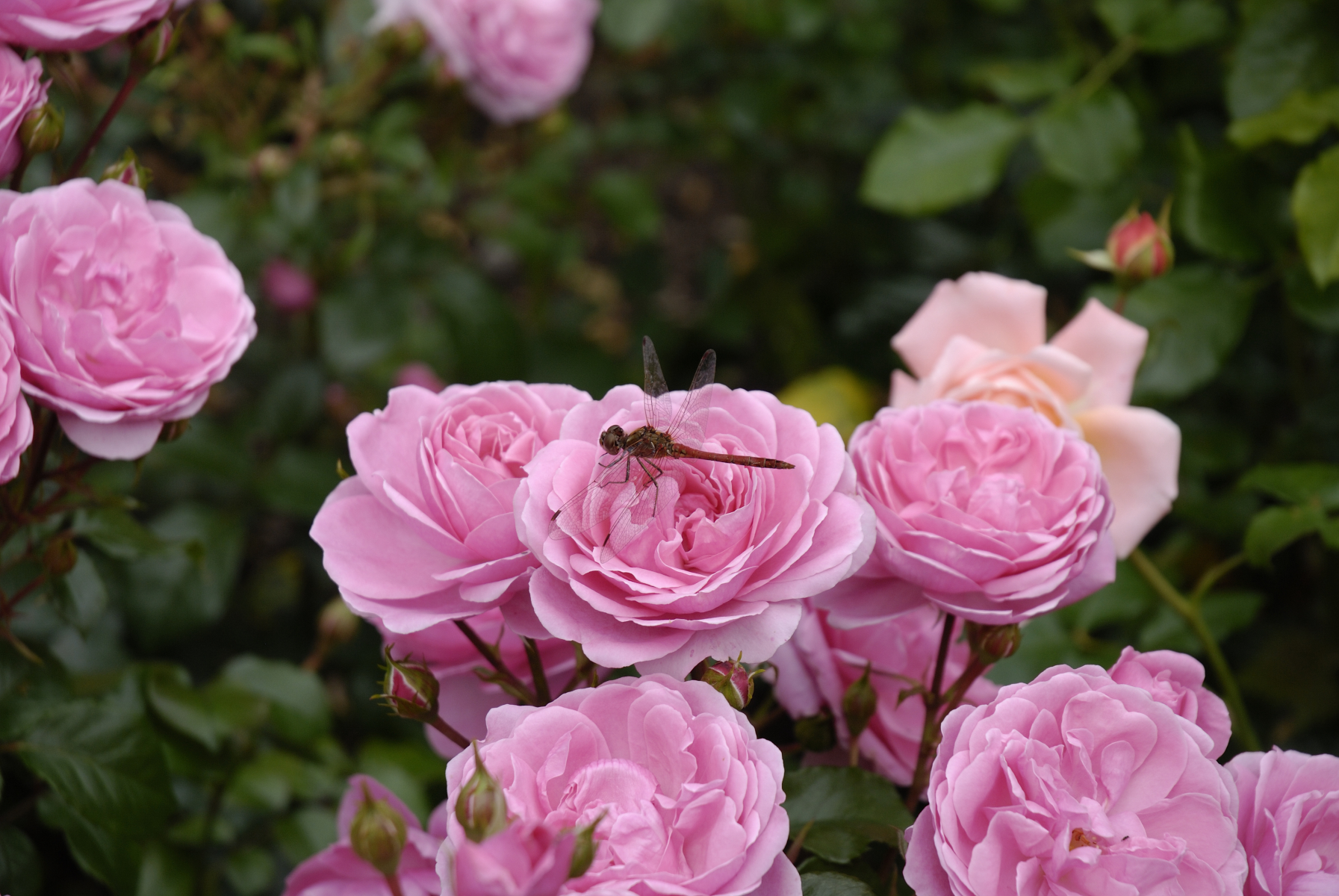 Rosa roseformede blomster.