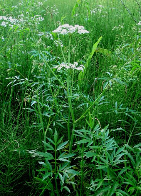 Plante med småsvøp og hvite blomster