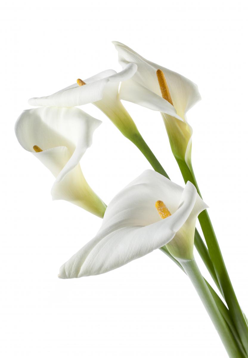 Lang, grønn stilk med hvit kremmerhusformet blomst og gul kolbe.