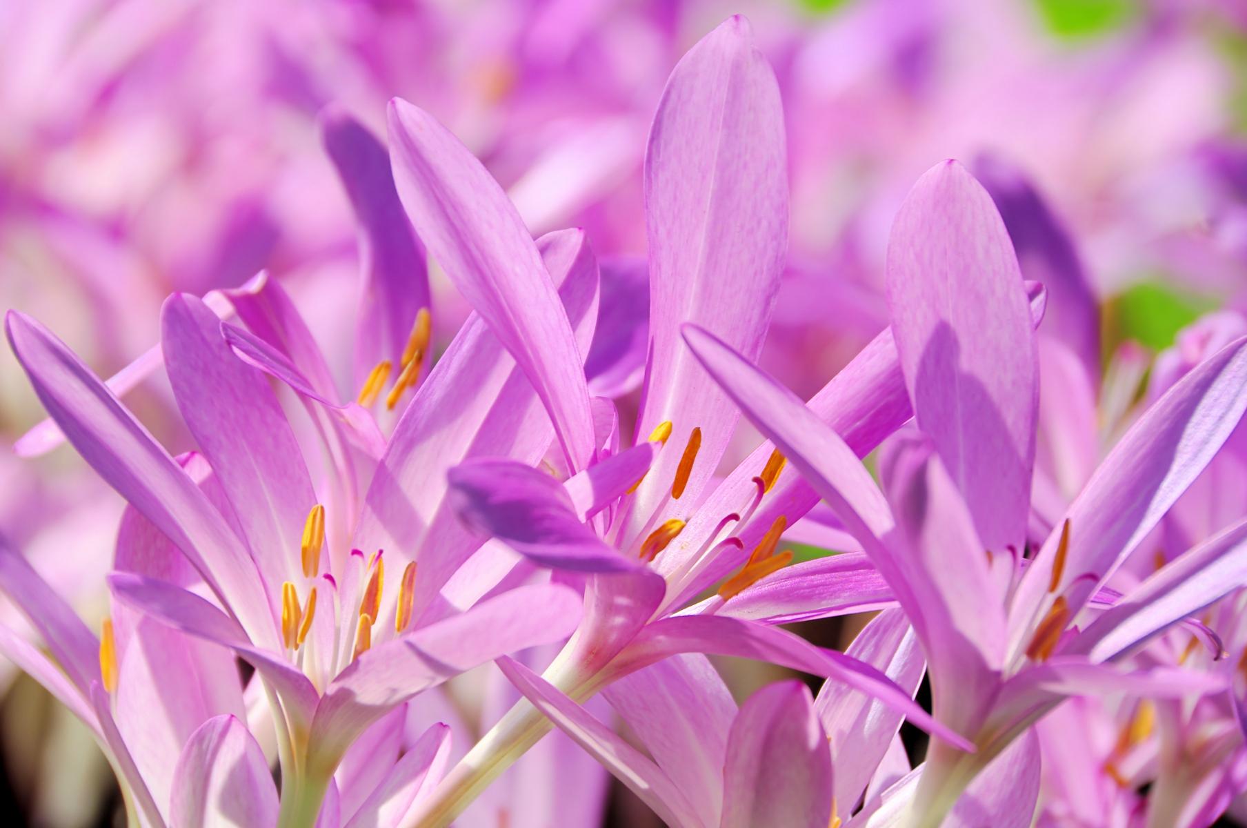 Lyse lilla  eller rosa blomsterblader på en forholdsvis kort stilk som går rett over i blomsten.