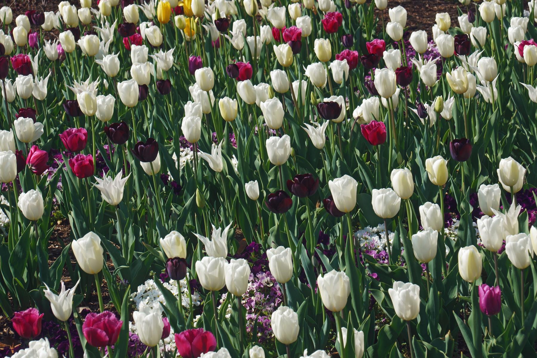 Høy stilk med stor blomst i hvitt, rosa, gult og dyp lilla.