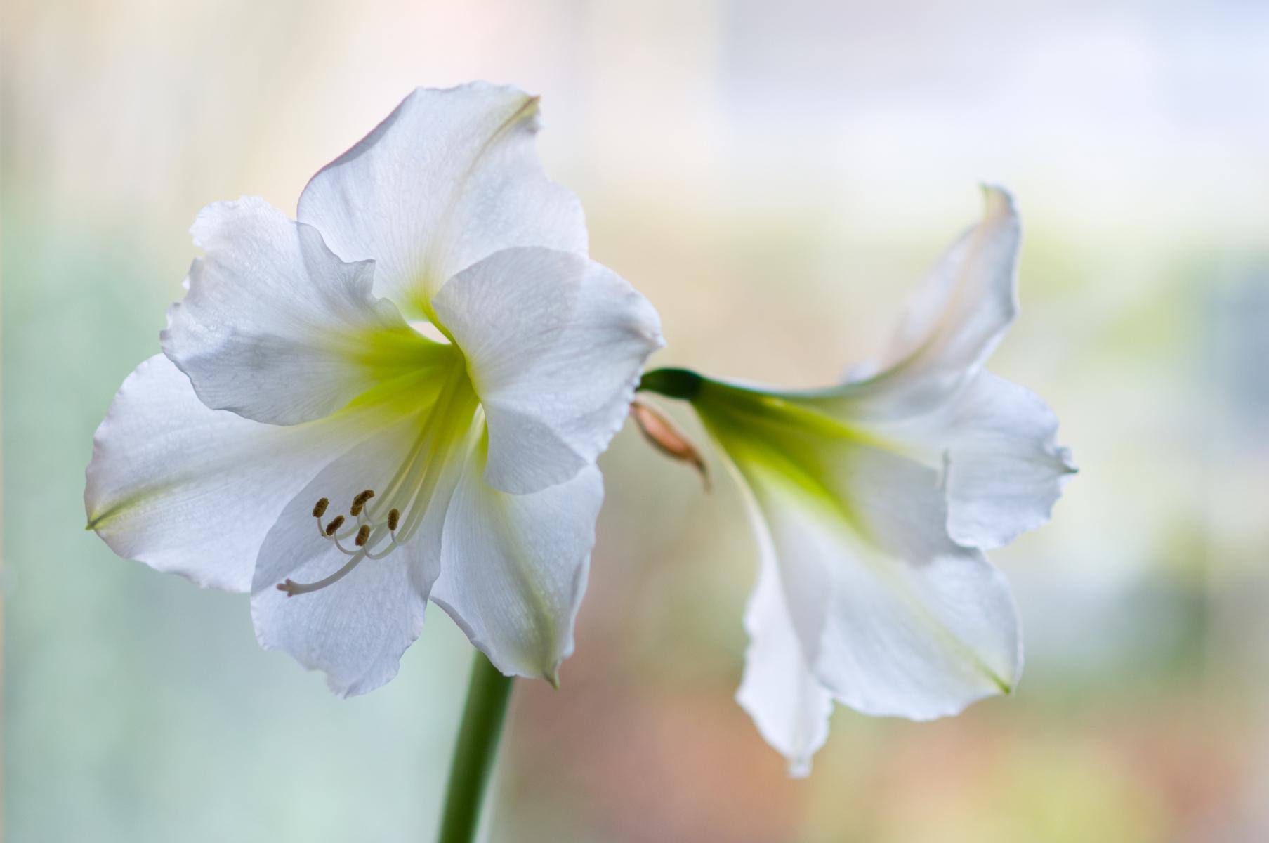 Kraftige blomsterstilker med store trompetformede blomster i hvitt.