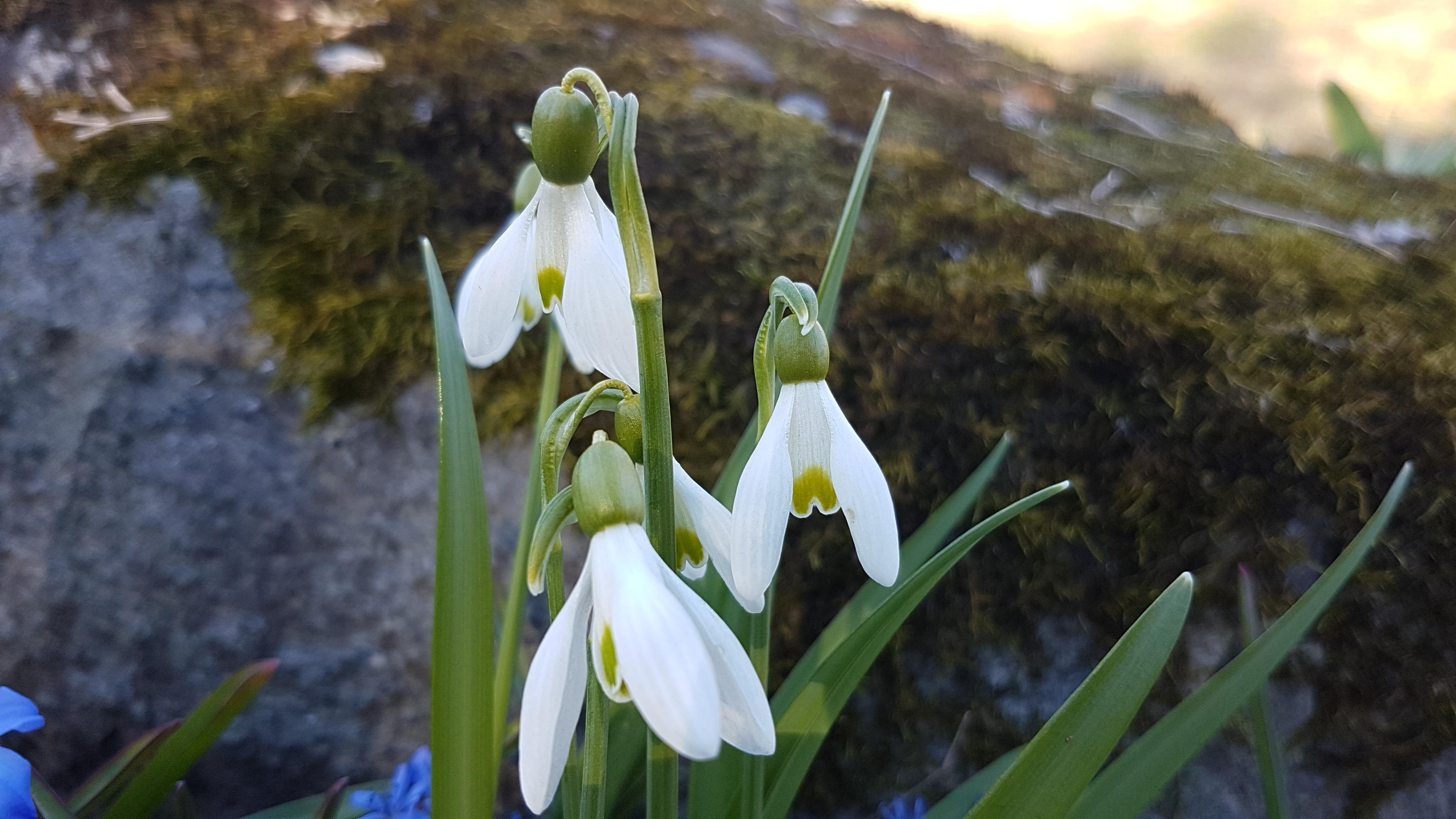 Hengende hvite blomster som vokser på egen stengel.