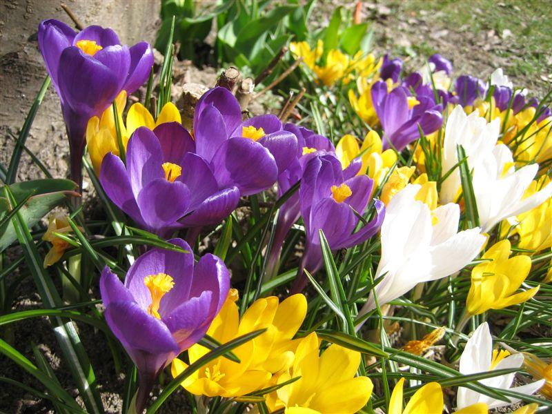 Illustrasjonsbilde av krokus. Blomstene har forskjellige farger, her lilla, gule og hvite blomster