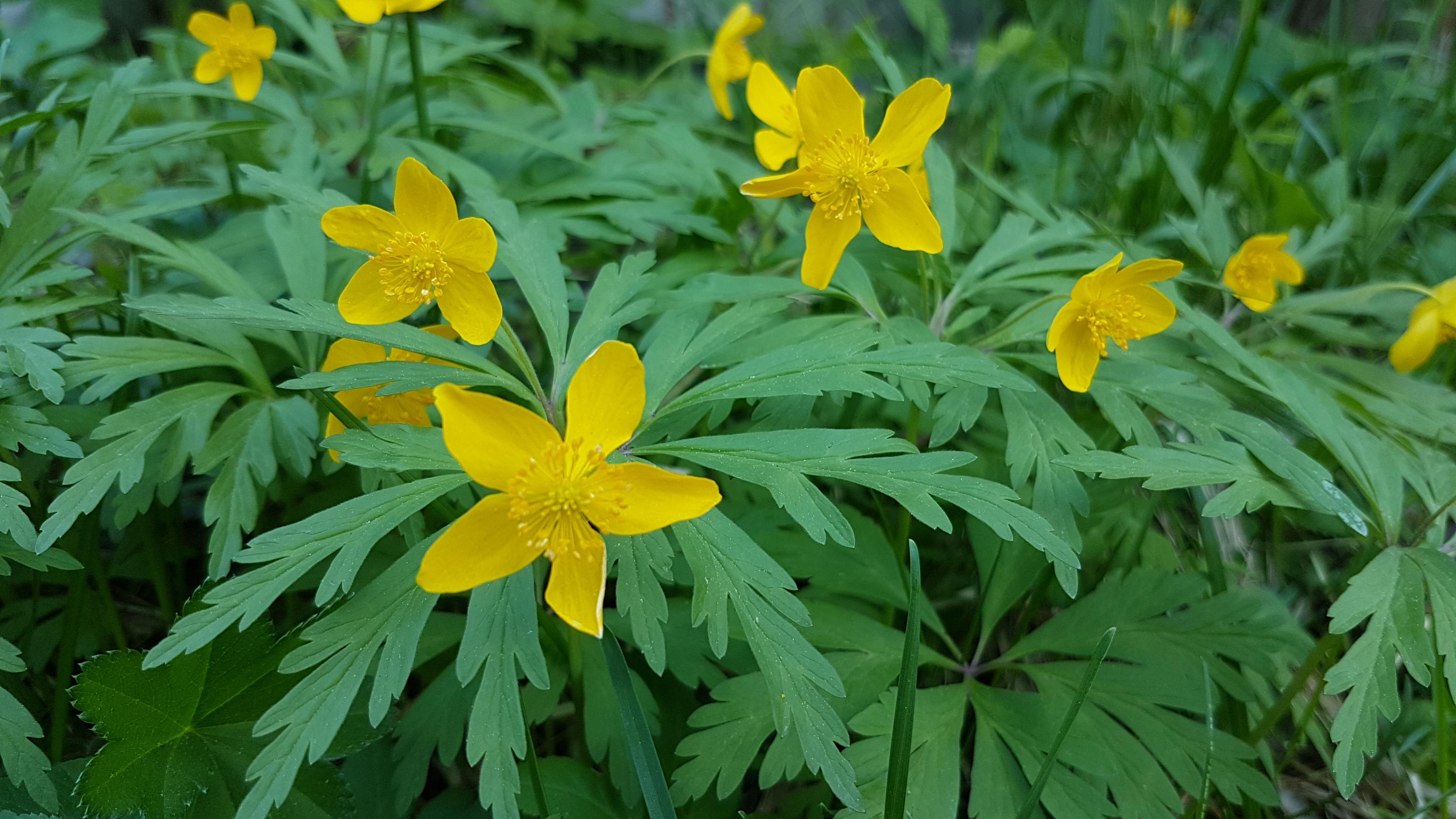 Gulveis har smale gule kronblad og tynn stilk med grønne blader