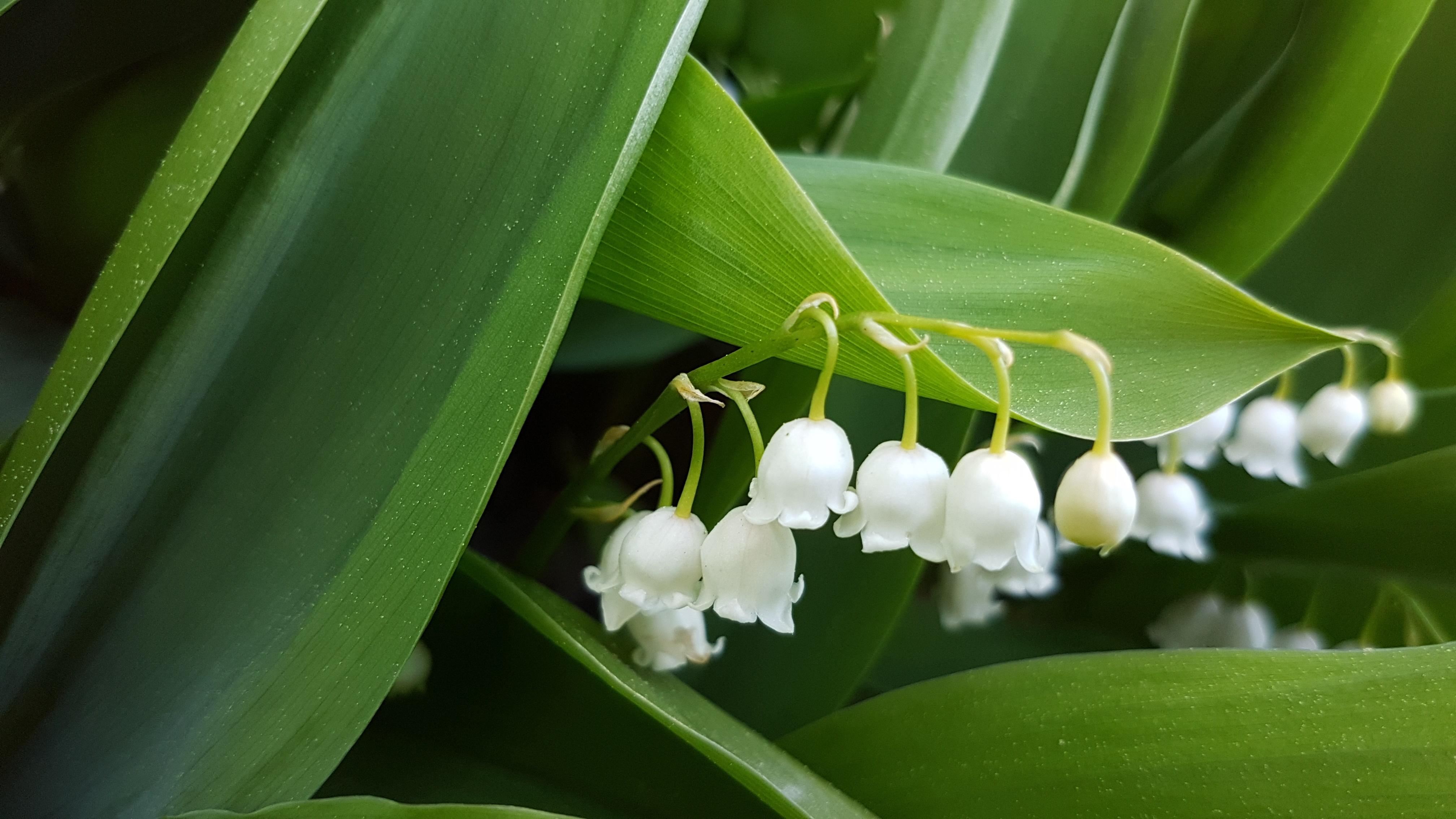 Grønne blader med hvite blomsterbjeller.