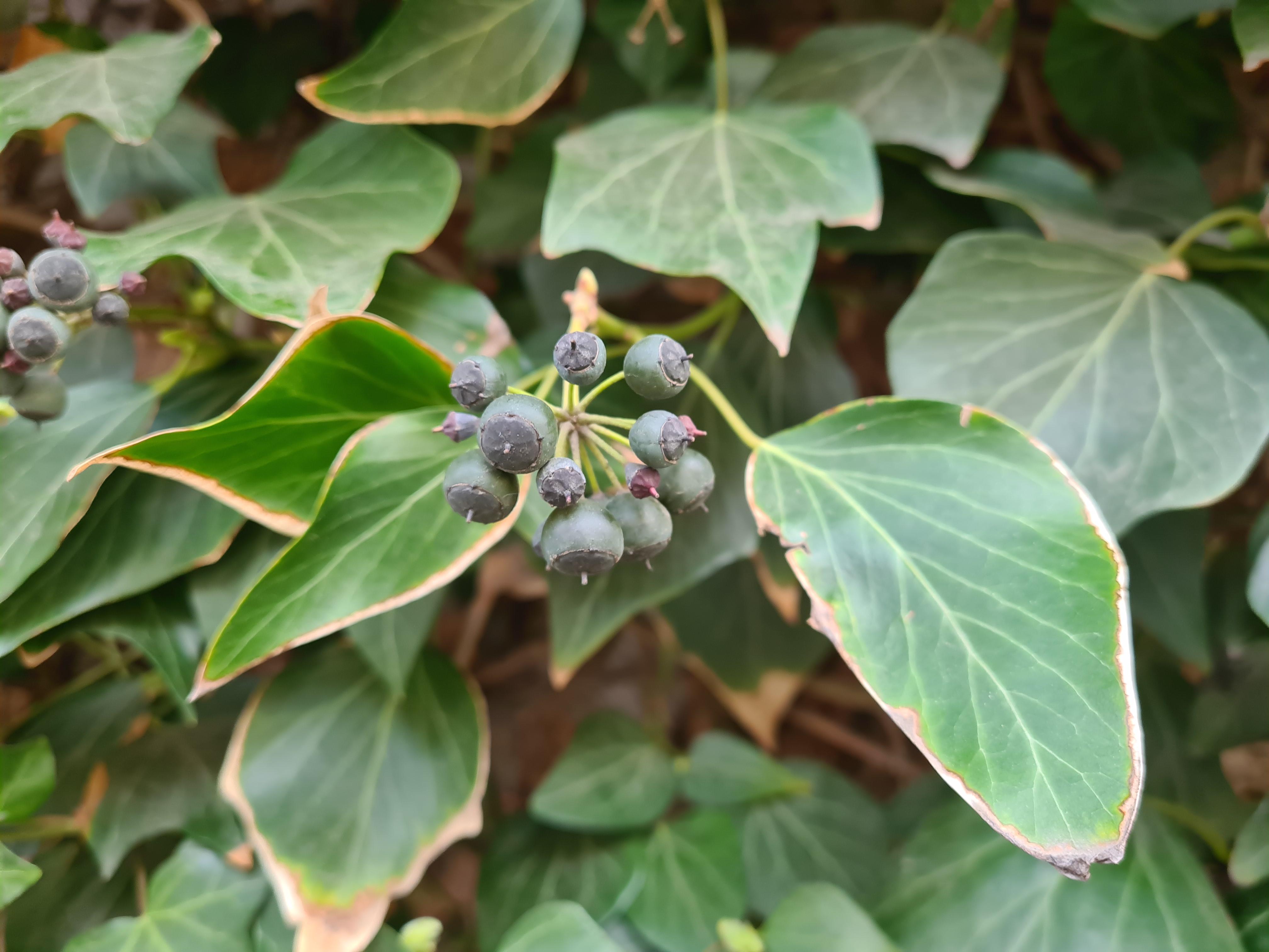 Eføy med tykke, vintergrønne blader og bær