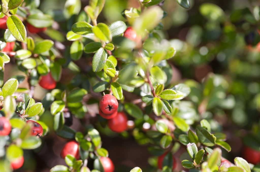 Små, grønne blader med røde bær.