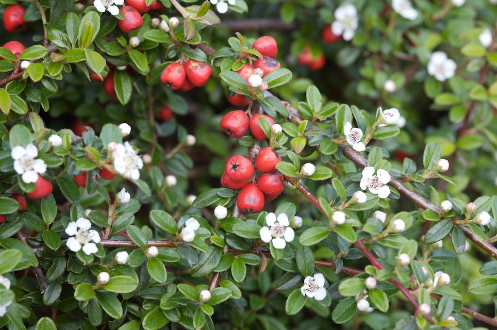 Små grønne blader med hvite kronblader og røde bær.