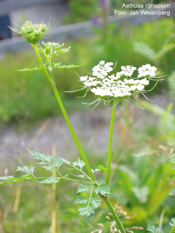 Hvite blomster på en grønn, stripete stengel.