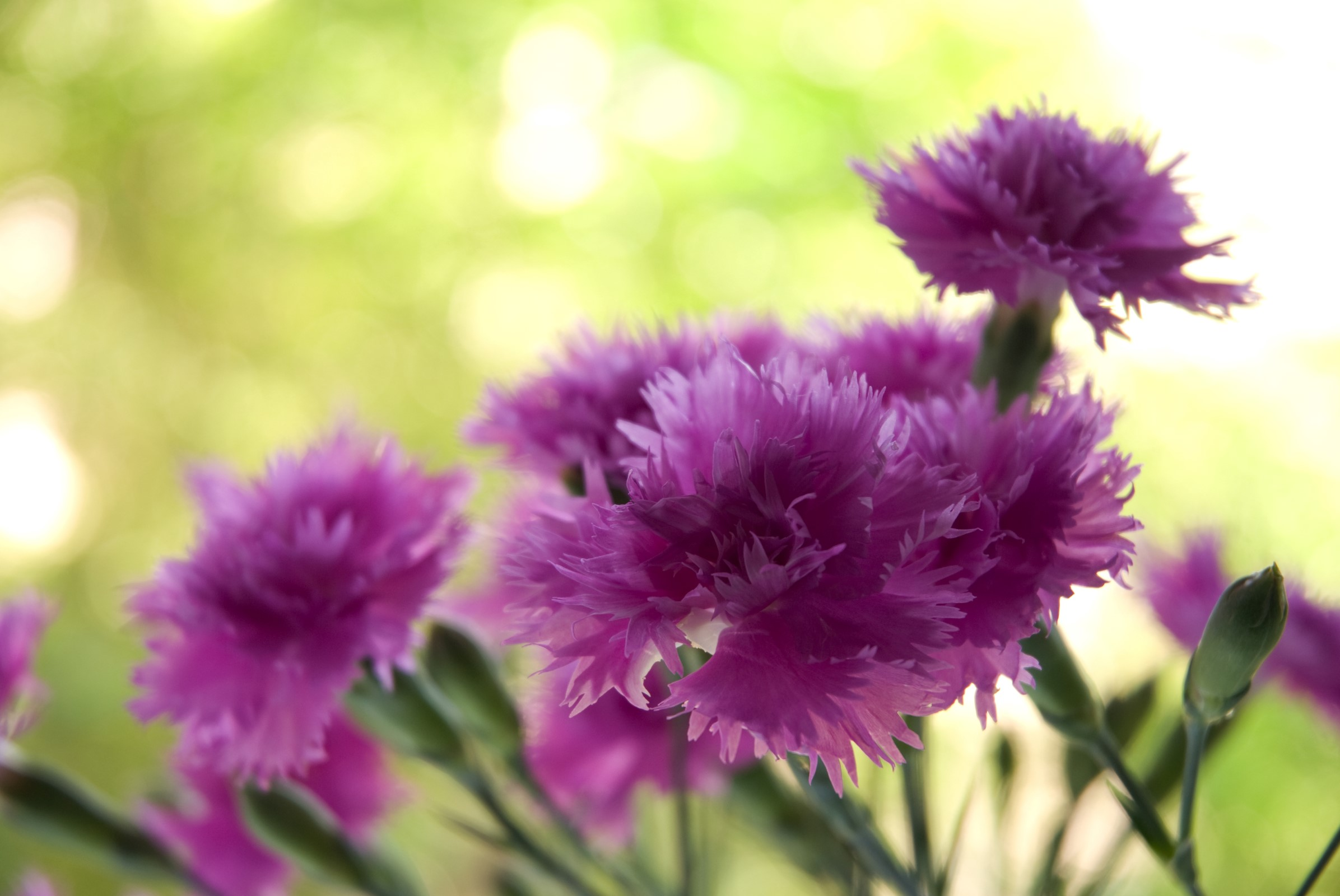 Lilla blomster på stilk.