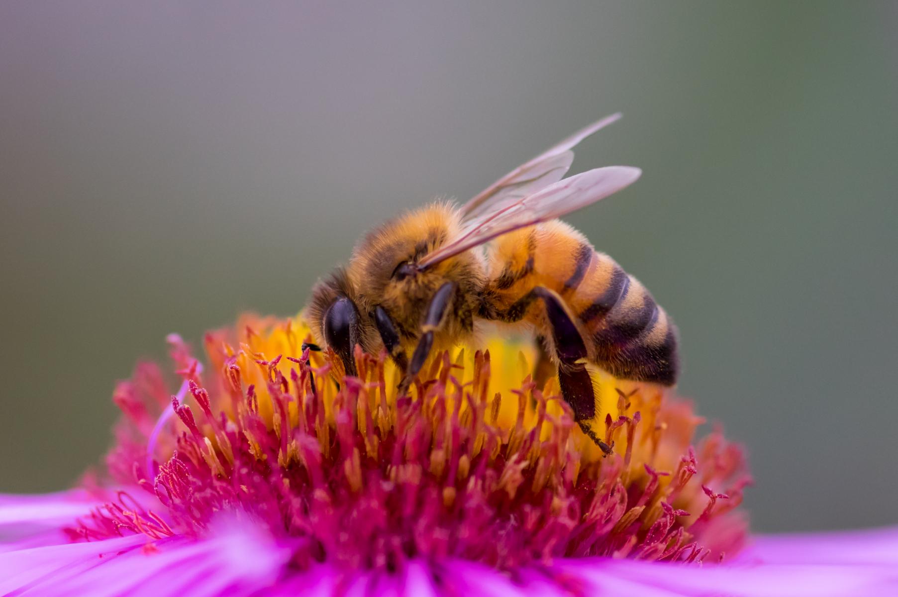 Bie som sitter på en rosa blomst med gule støvbærere