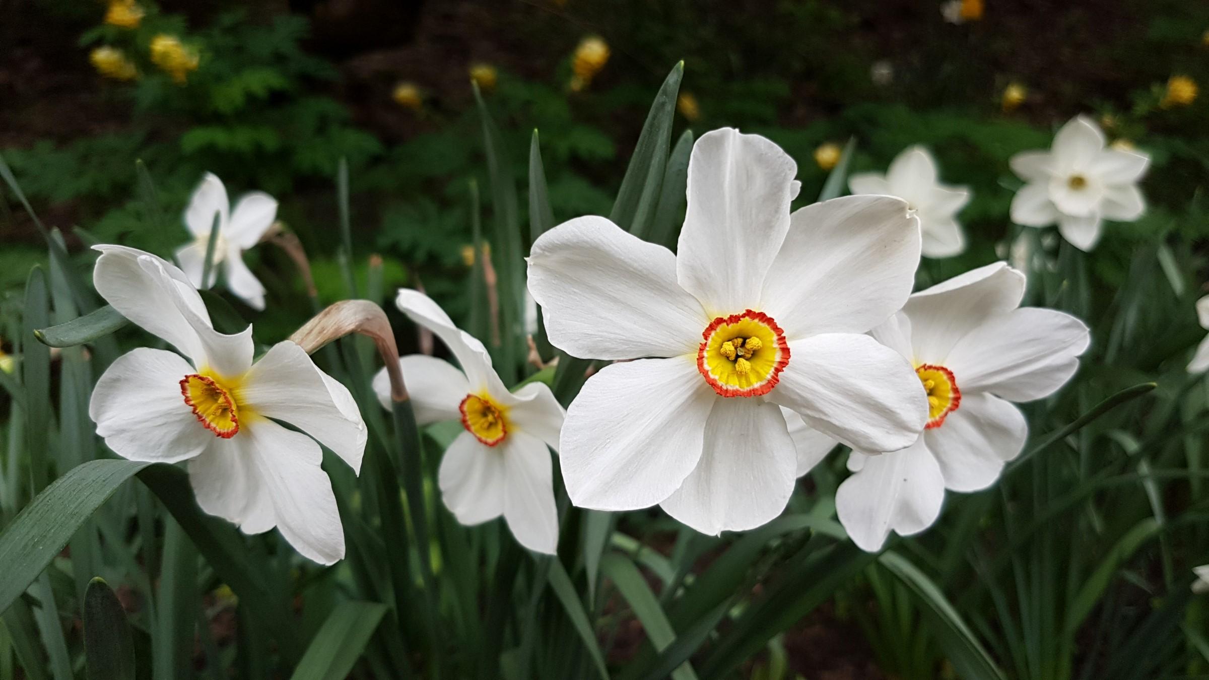 Blomsten har hvite blomsterdekkblader og gul bikrone med rød kant.