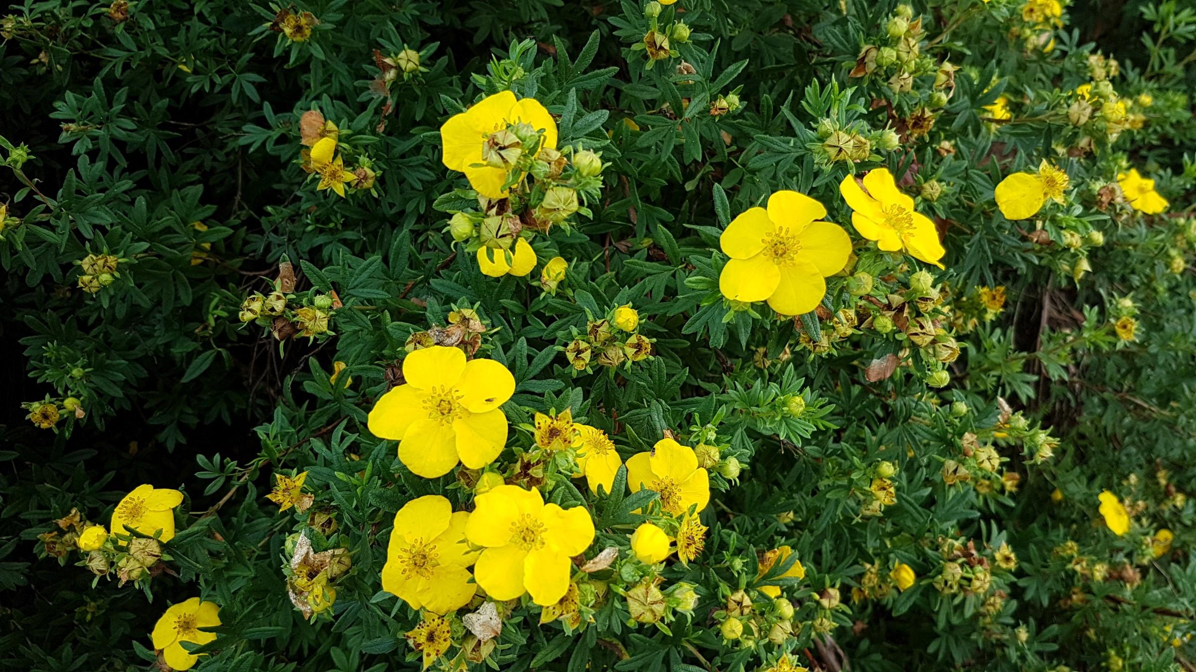 Små, grønne blader med enkle gule kronblader.