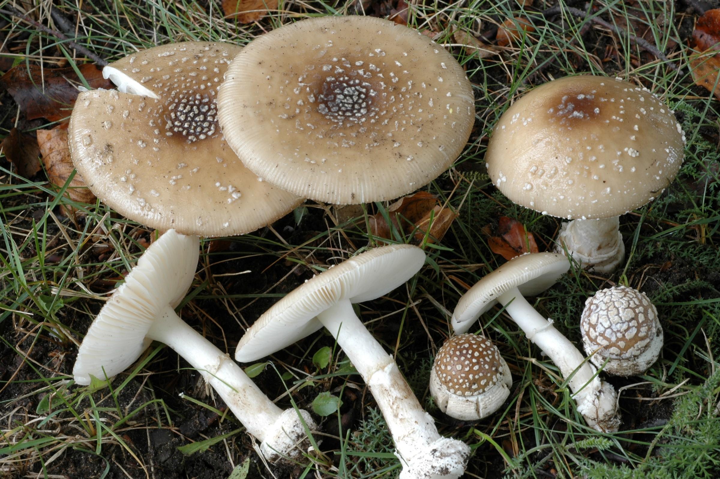 Soppen har en halvkuleformet til utflatet, brun Her er panterfluesoppen illustrert ved 8 sopper liggende i gresset, alle i ulik vekstfase.