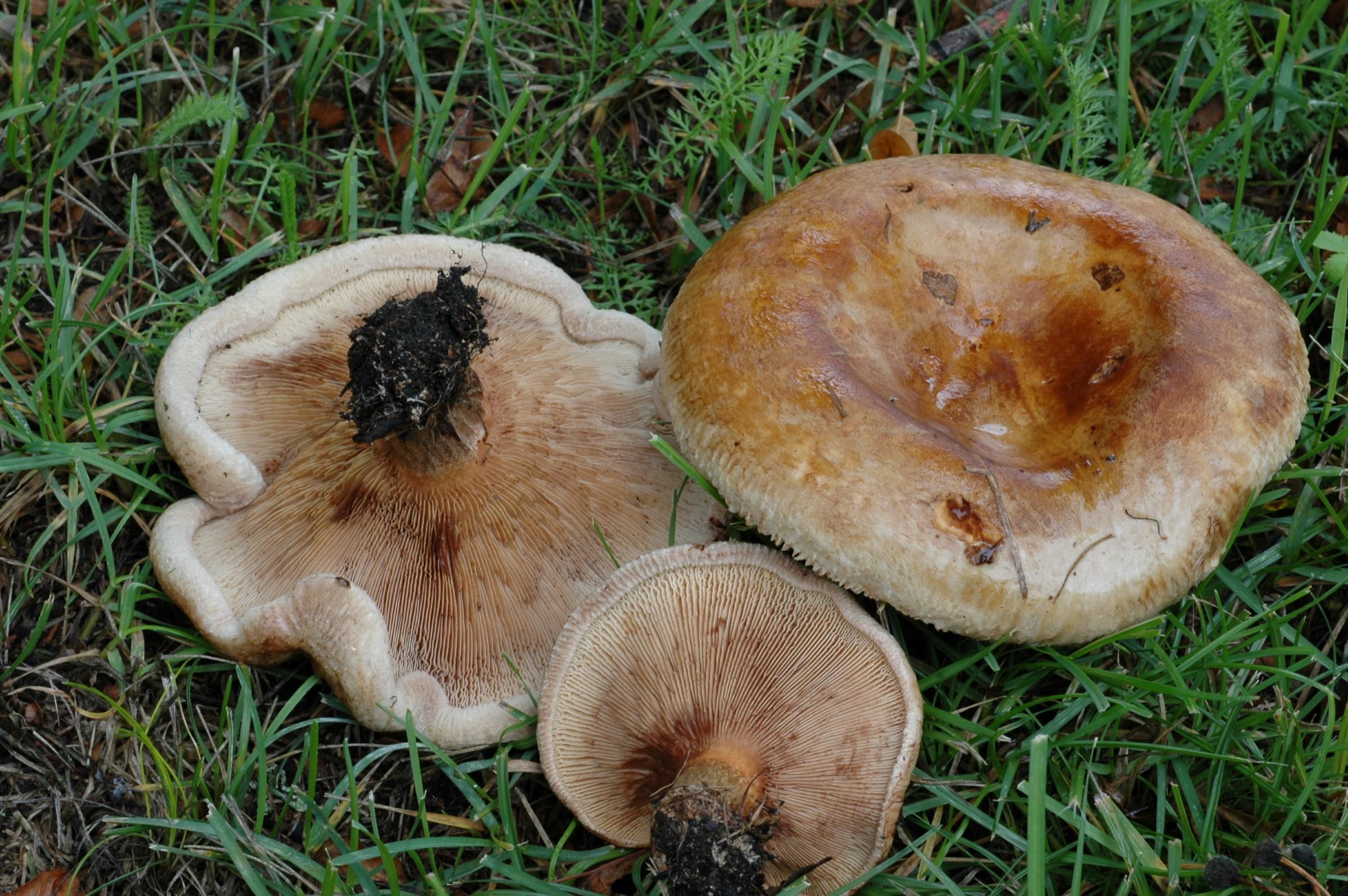 Sopp med brun, traktformet hatt. Tre brune pluggsopper (Paxillus involutus) liggende i gresset.