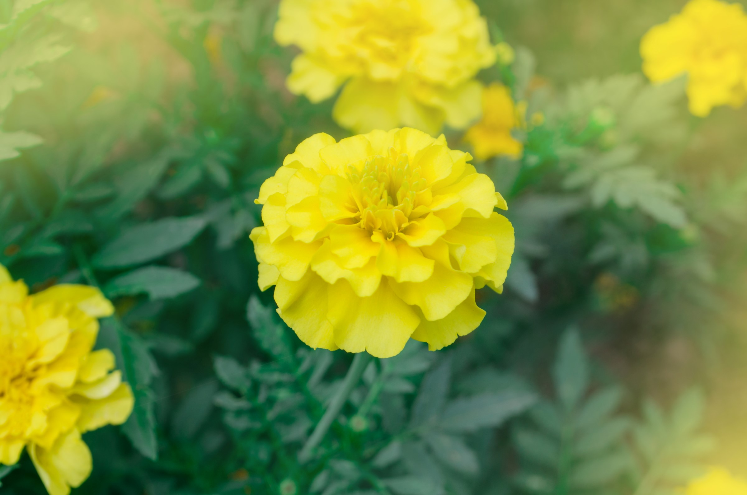 Fløyelsblomst med gule blader