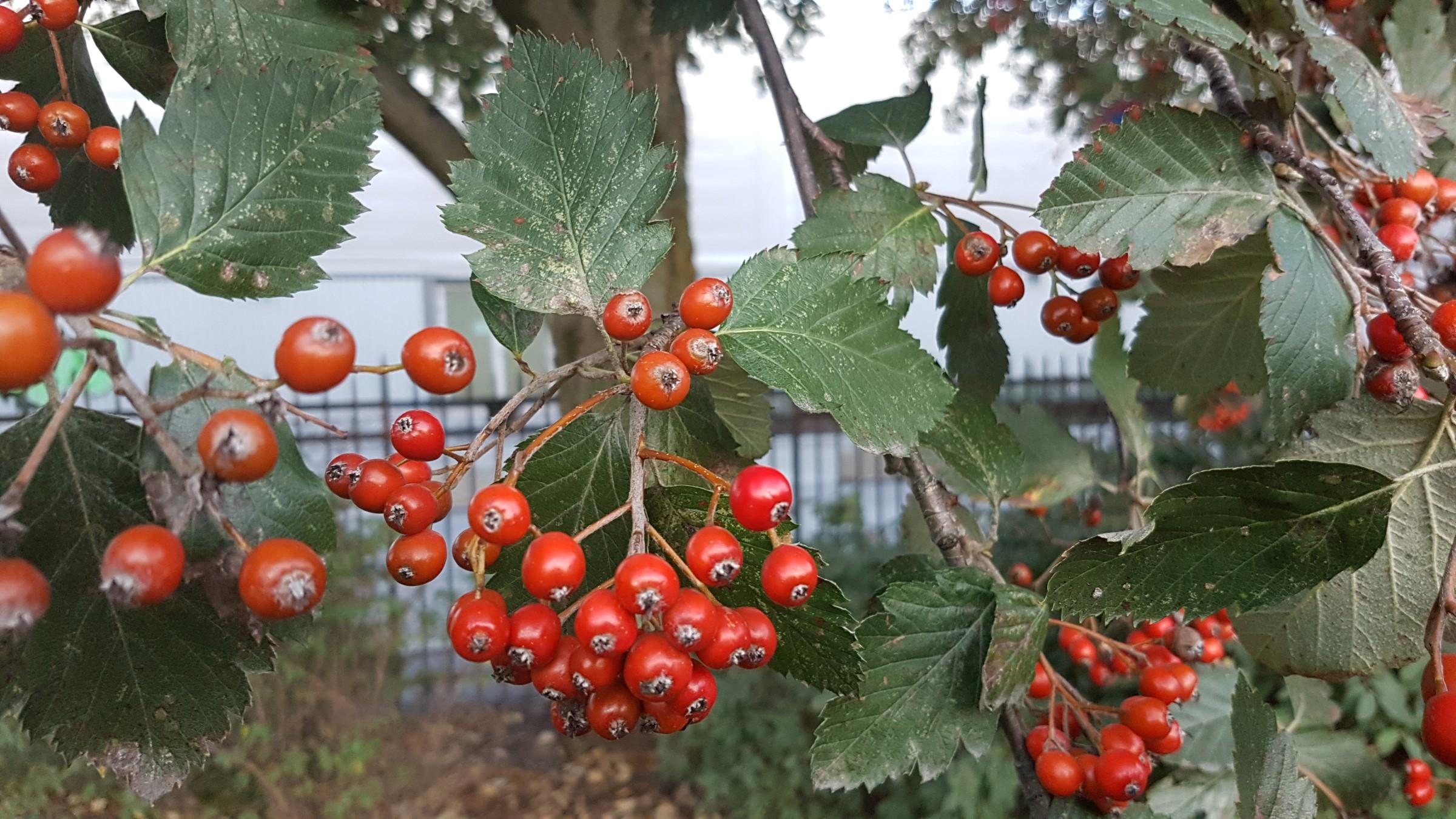 Svensk asal, røde bær i klaser på et tre