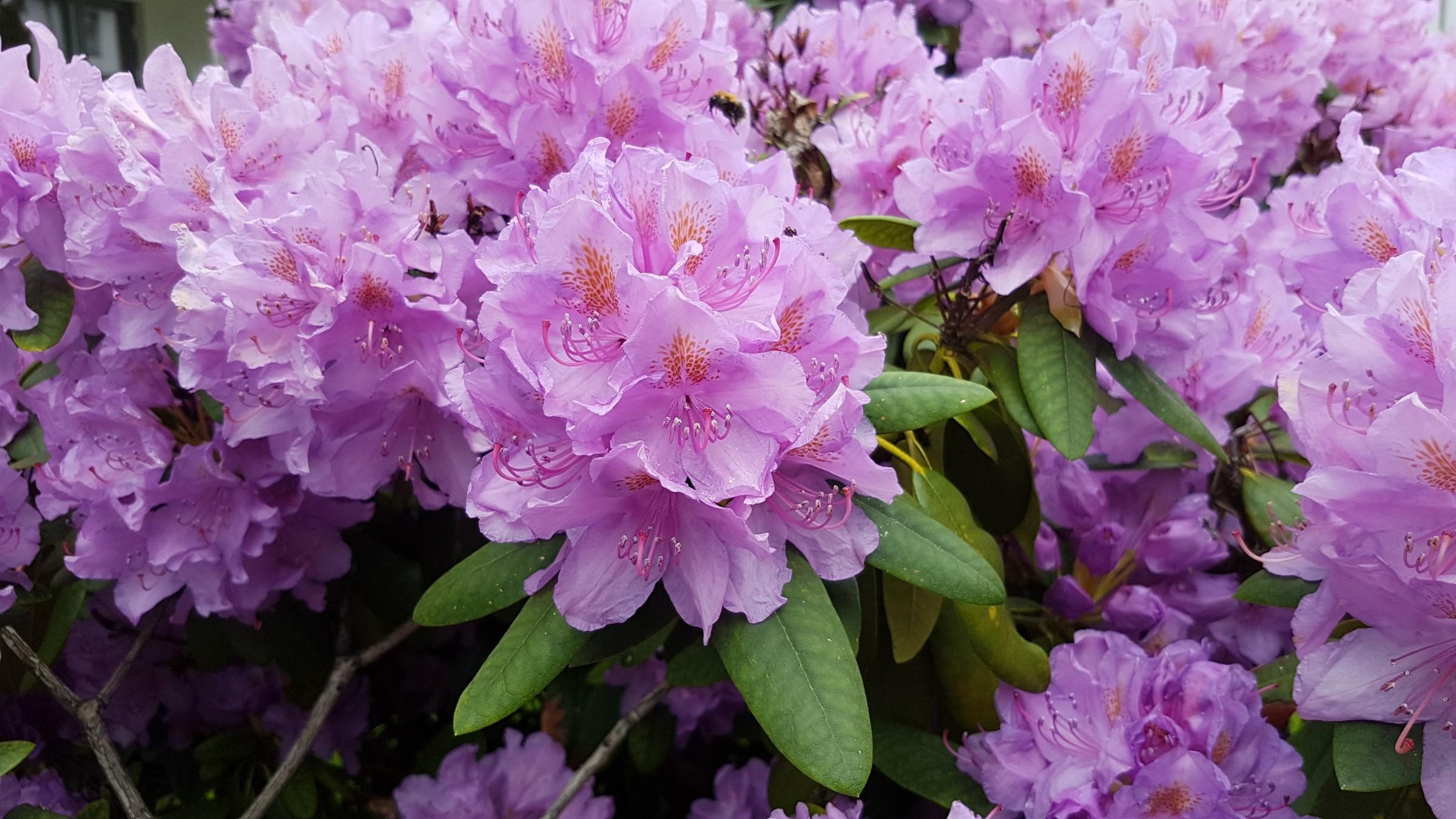 Rhododendron med rosa-lilla blomster