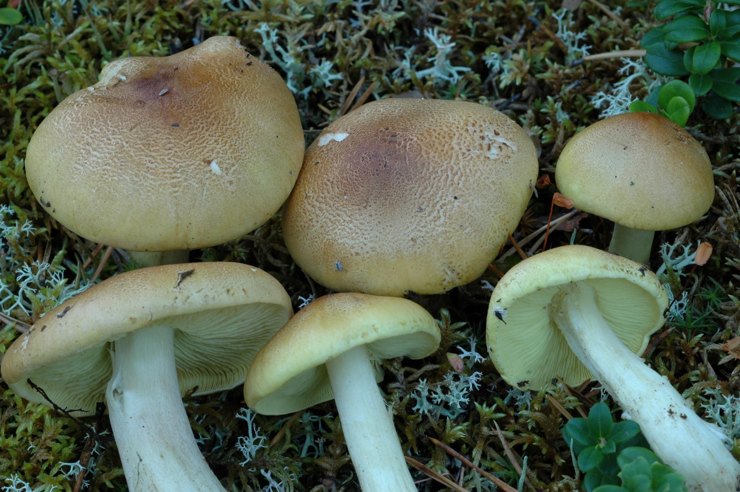 Soppen har en hvelvet til utbredt, gulbrun hatt og er brunkornet mot midten. Riddermusserong (Tricholoma equestre) er en giftig sopp. Her illustrert ved 6 riddermusseronger liggende på mosedekt skogbunn.