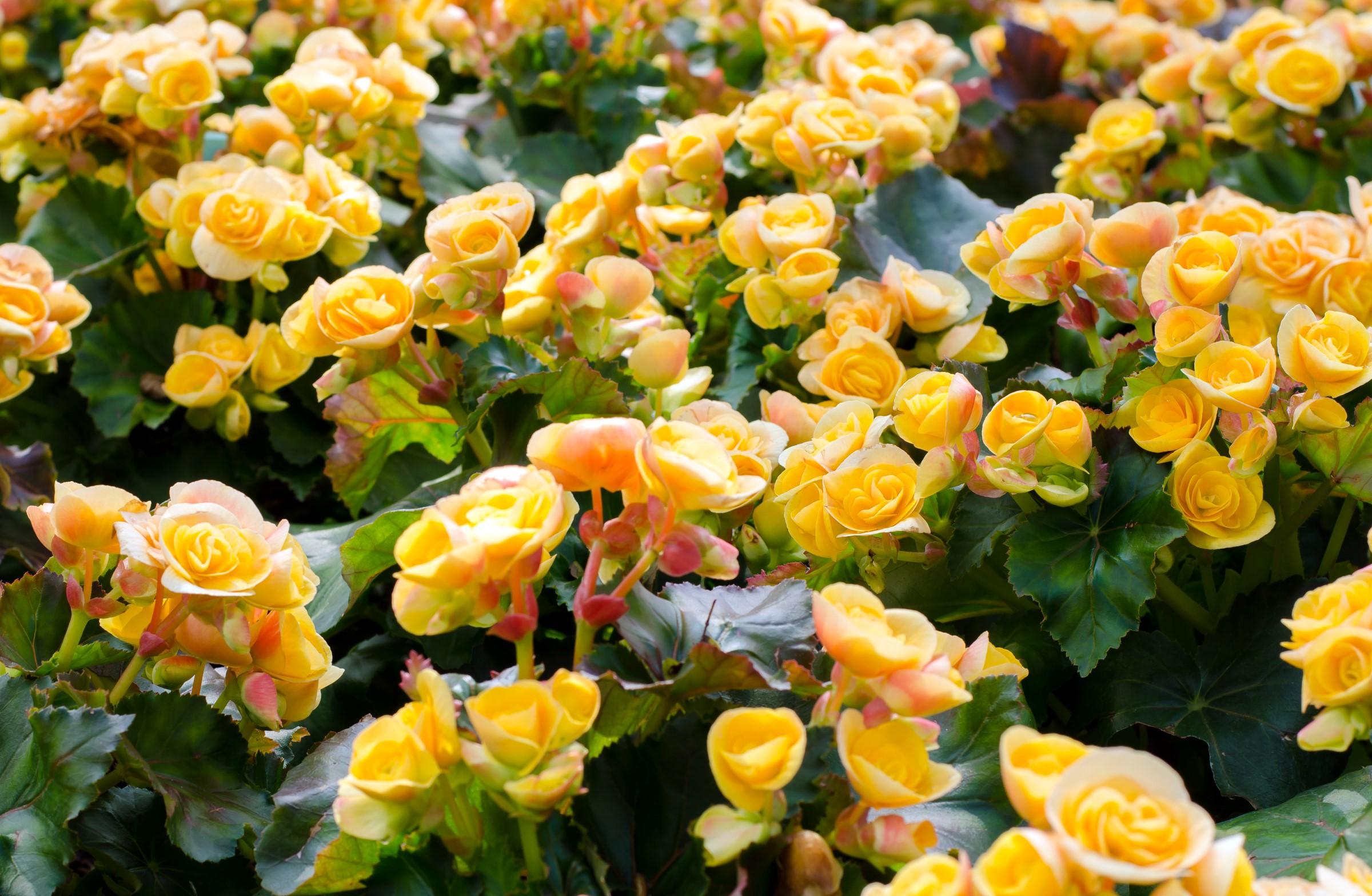 Planten har grønne blader og en gul roseformet blomst.