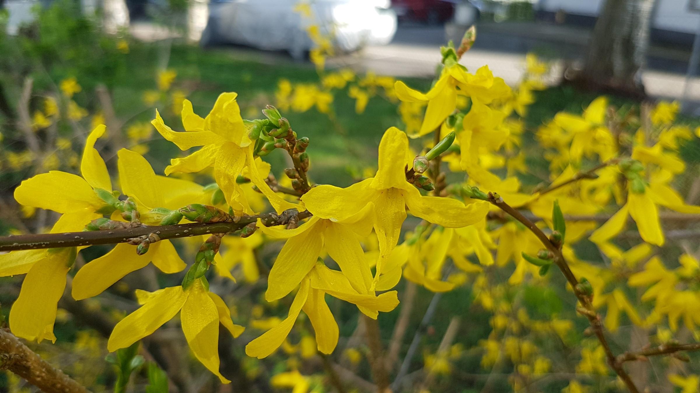 Gule blomster på kvist