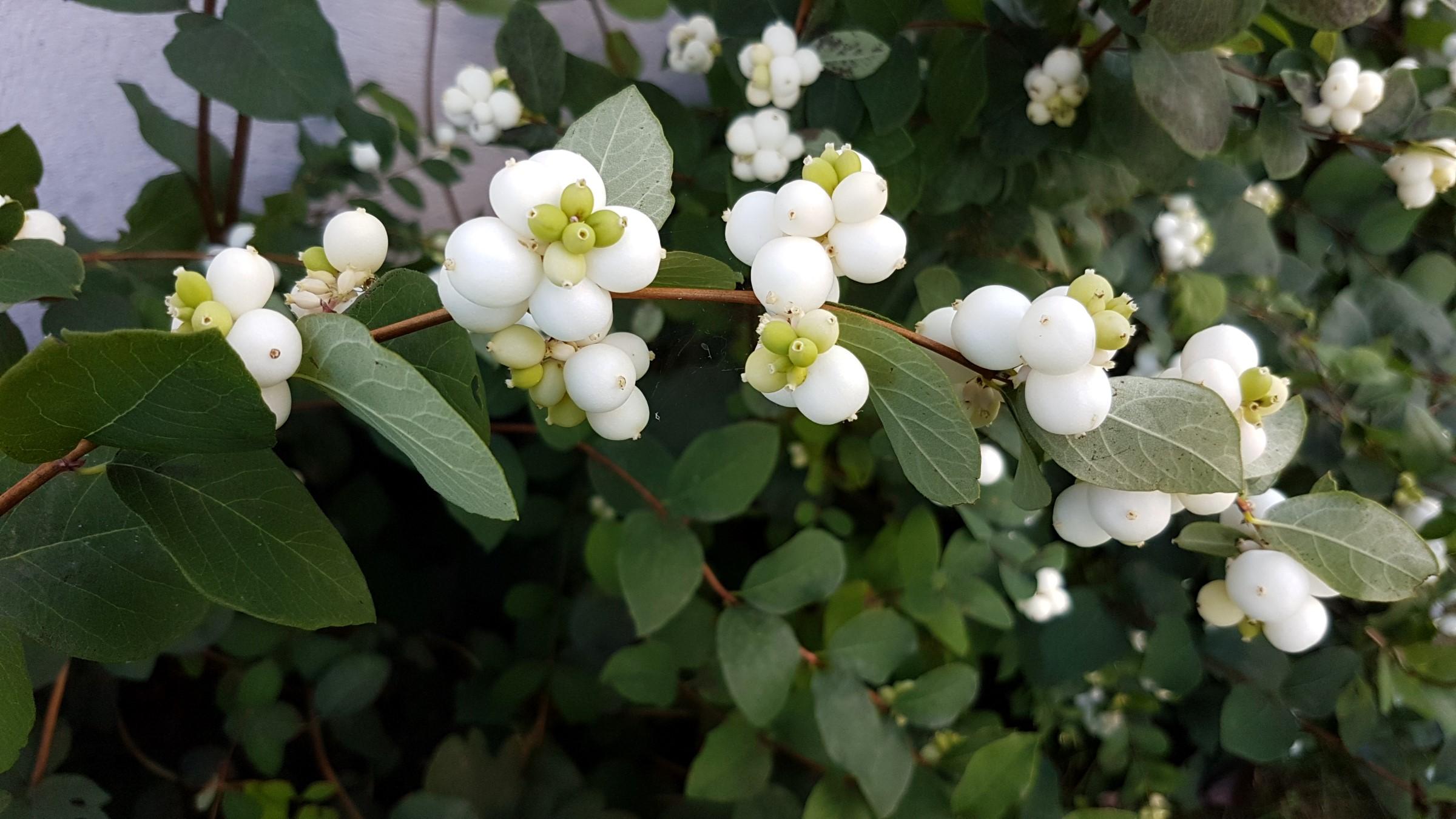 """Snøbær er hvite runde """"oppblåste"""" bær med grønne blader"""