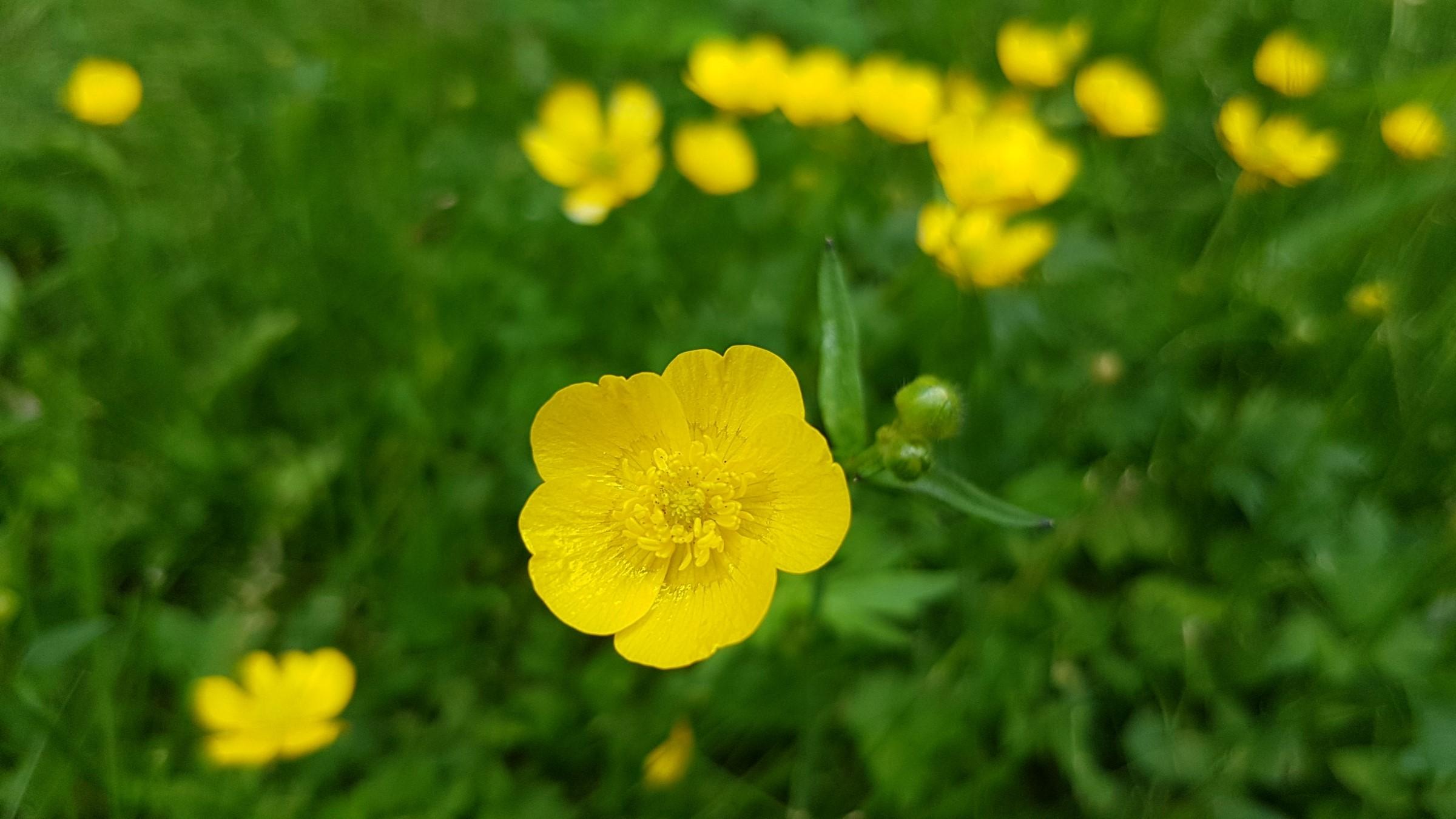Illustrasjonsbilde av engsoleie eller smørblomst, gul blomst med fem kronblad