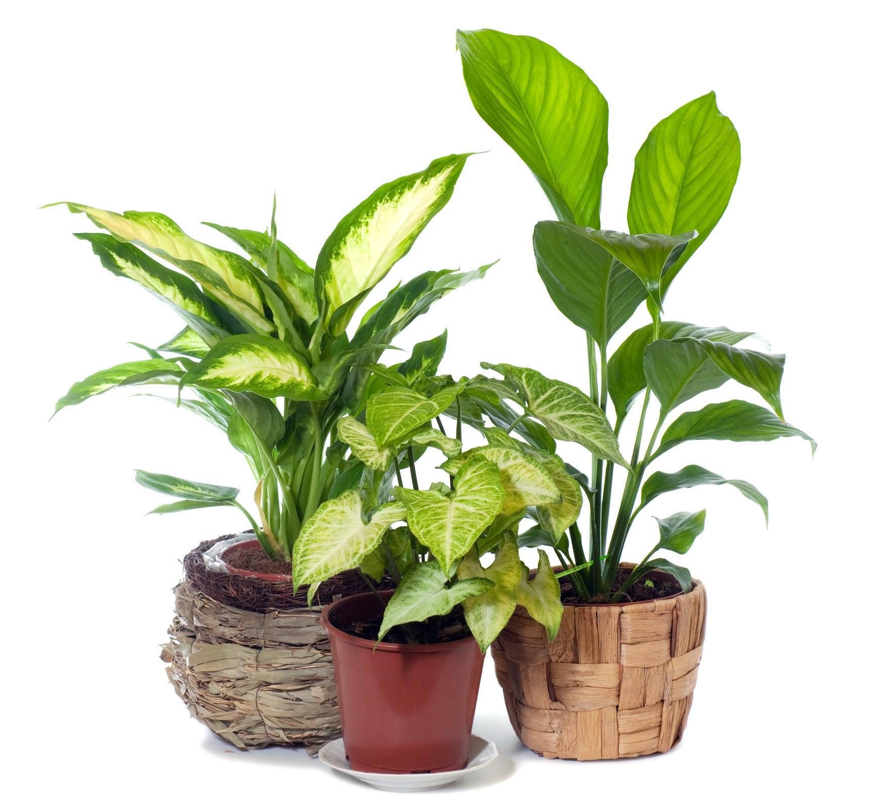 Tre forskjellige stueplanter, alle med grønne blader. To med ovale blader, grønne kanter og hvitgule blader og en med ovale, grønne blader