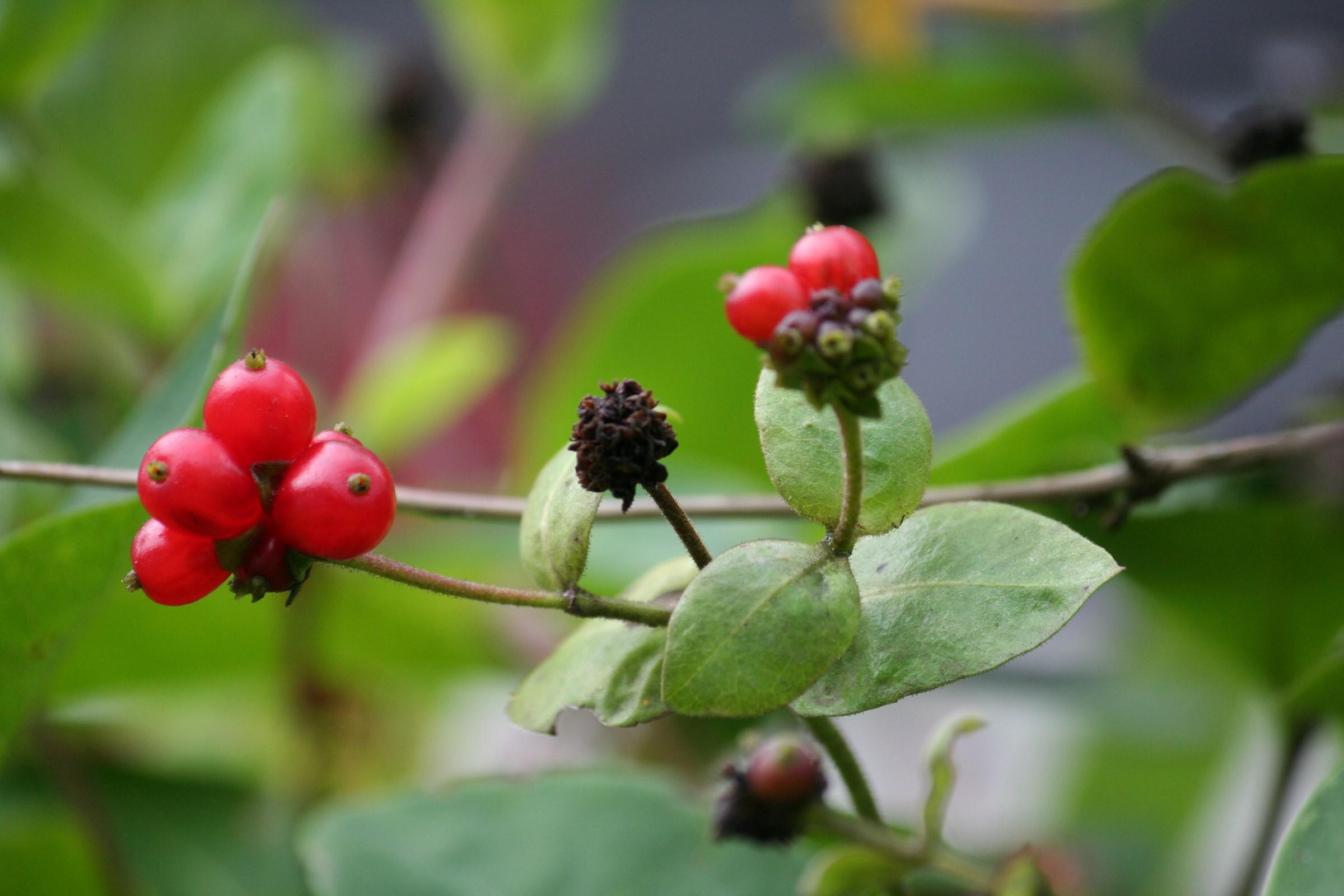 Røde bær og grønne blader